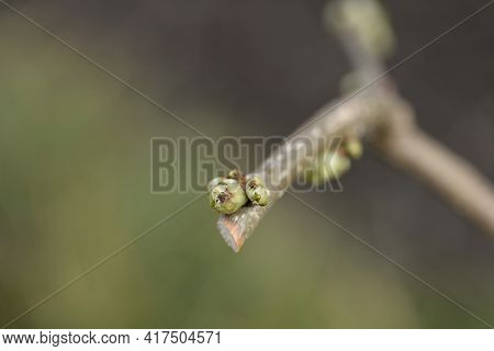 Weeping White Mulberry Branch With Buds - Latin Name - Morus Alba Pendula