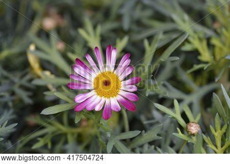 Pink Marguerite Daisy - Latin Name - Argyranthemum Frutescens