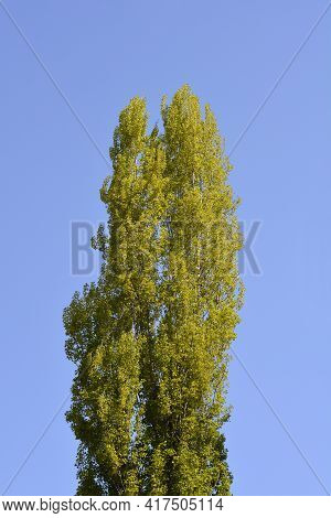 Lombardy Poplar Treetop Against Blue Sky - Latin Name - Populus Nigraa Var. Italica