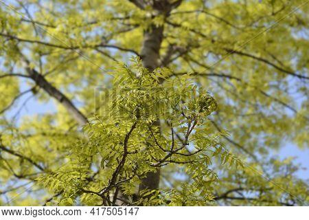 White Ash Branches - Latin Name - Fraxinus Americana