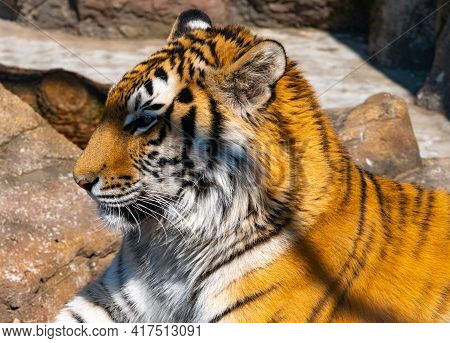 Bengal Tiger Looks Around In Search Of Prey, Head Of Bengal Tiger Close-up