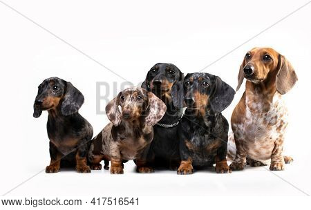 Group Dogs dachshunds puppy  on white background, dog portrait
