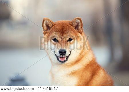 Beautiful Young Red Shiba Inu Puppy Dog Outdoors. Cute Japanese Dog Posing Outside