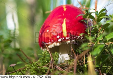 Red Poisoned Mushroom Also Known As Amanita Muscaria, The Fly Agaric Or Fly Amanita Growing In The F