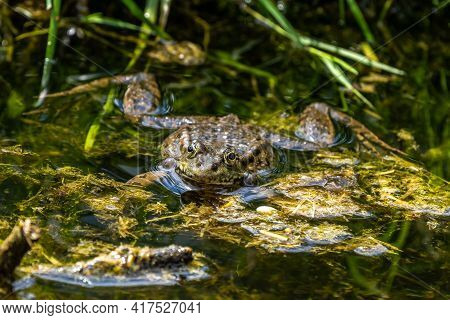 Common Frog, Rana Temporaria, Single Reptile Croaking In Water, Also Known As The European Common Fr