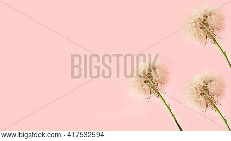 Creative Pink Background With White Dandelions Inflorescence. Concept For Festive Background Or Moth