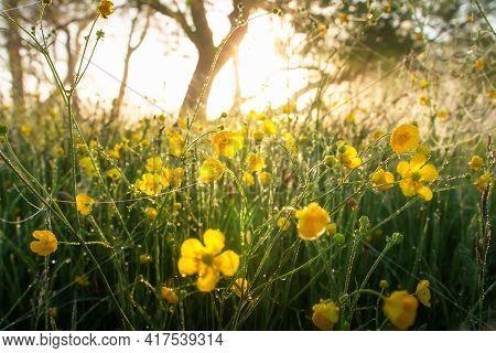Summer Landscape. Misty Sunrise Above Field. Meadow In Yellow Flowers After Rain. Raindrops On Grass