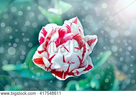 White And Red Tulip On Flower Bed In Sunny Rays. Spring Garden. Landscape Design. Beautiful Tulips I