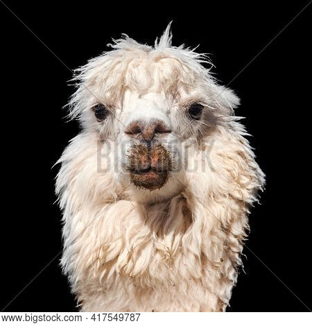 Llama Or Lama, One Animal Head Portrait Isolated On Black Baskground, Andes Mountains, Peru