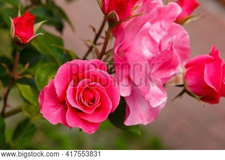 Beautiful blooming  roses in the garden