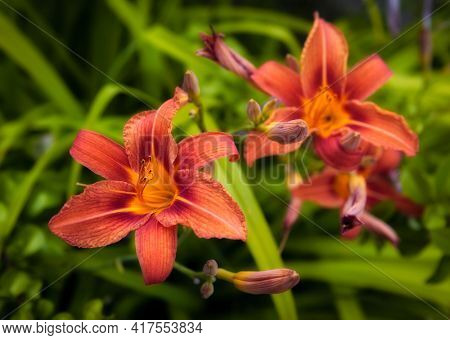 Beautiful orange lily flower in the flowerbed