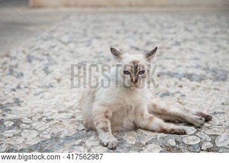 Old blue eyed cat lies on cobblestones in Syracuse street. Siamese cat