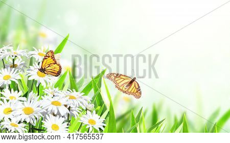 Horizontal banner with blooming chamomile flowers and two butterflies. Sunny summer background with camomile flower and Monarch butterfly. Copy space for text