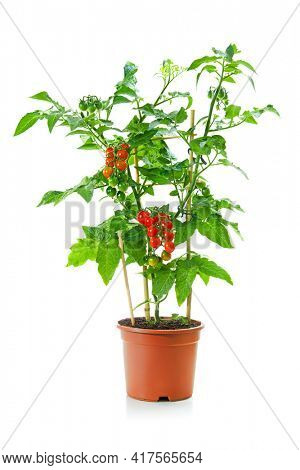 Cherry tomatoes plant tree with mini red fresh tomatoes hanging on it in a pot isolated on white background