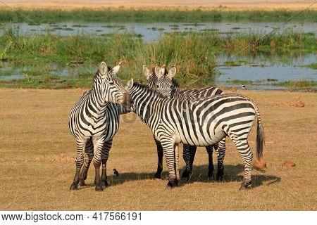 Plains zebras (Equus burchelli) in natural habitat, Amboseli National Park, Kenya