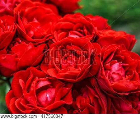 Close up of fresh red rose flower