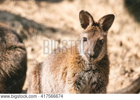 Red-necked wallaby full body portrait
