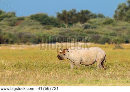 An endangered black rhinoceros (Diceros bicornis) in natural habitat, South Africa