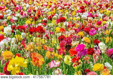 The world of flowers. Lush yellow and red garden buttercups  in a kibbutz field with a magnificent carpet. Israel. Windy cloudy day.