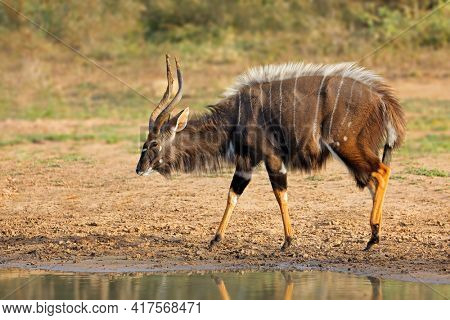 Male nyala antelope (Tragelaphus angasii), Mkuze game reserve, South Africa