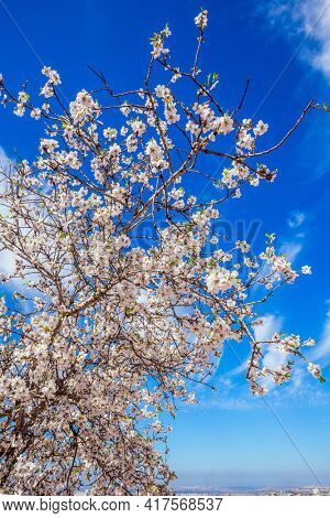 White-pink olive tree flowers. Spring in Israel. Light spring clouds over blooming land. Ecological and photo tourism concept. Lush spring olive tree flowering is the basis of olive oil production