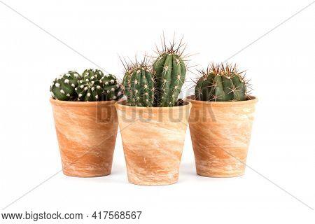 Three cactus plants - Echinopsis subdenudata, Stetsonia coryne, Melocactus azureus - in terra cotta flower pots isolated on white background