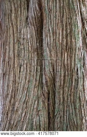 Juniper Tree Bark Texture. Natural Coniferous Bark Background. Juniperus Excelsa, Commonly Called Th