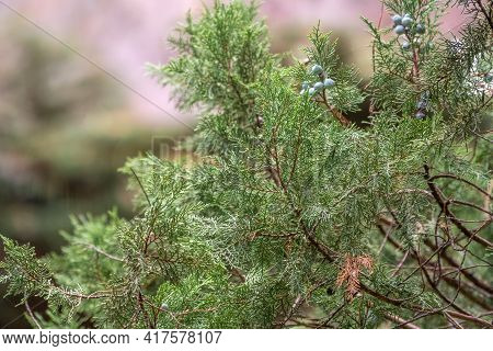 Leaves And Cones Of A Juniper Tree Evergreen. Juniperus Excelsa, Commonly Called The Greek Juniper