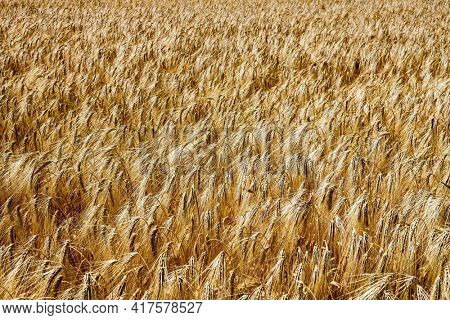 a barley field in agriculture