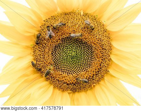 bees on a yellow sunflower