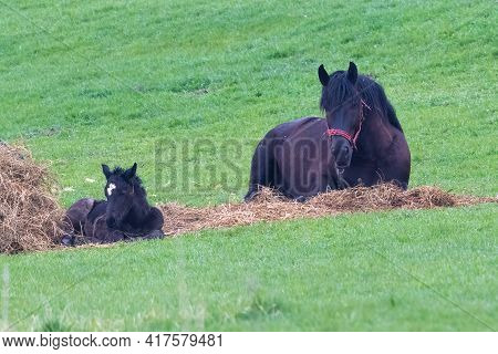 Mare And Colt Lying Down Resting In Green Meadow