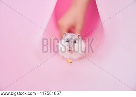 Dzungarian Grey Hamster In A Tube On A Pink Background.hamster Eats Corn. Hiding From A Child. High