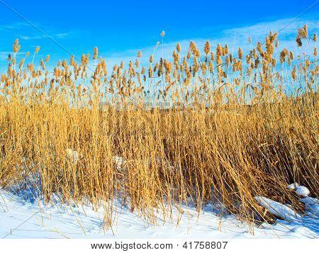 trockener Reed auf Schnee