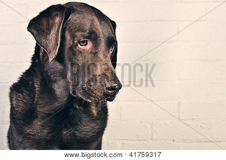 Chocolate Labrador Profile against Wall