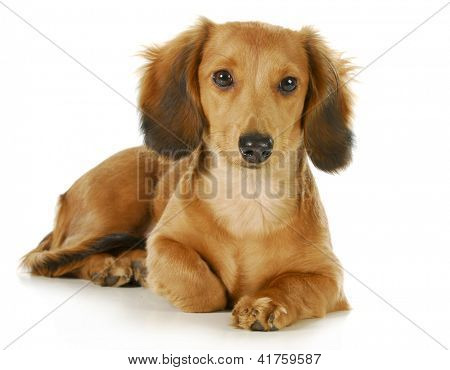 miniature dachshund - long haired weiner dog laying down looking at viewer isolated on white background