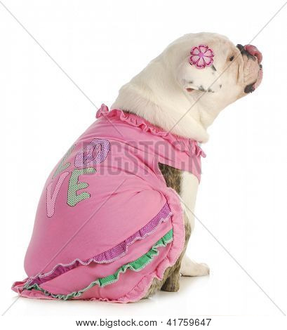 puppy love - english bulldog wearing pink dog sweater isolated on white background poster