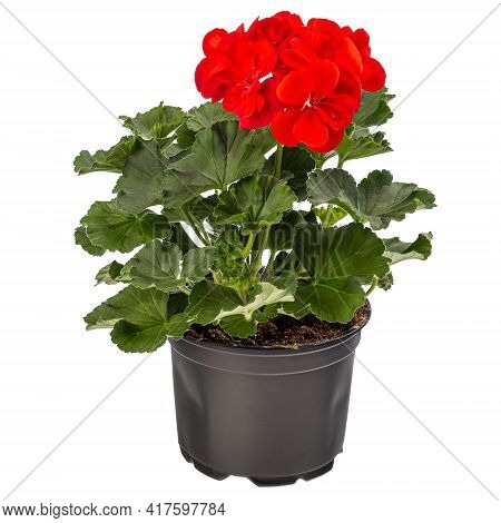Geranium Or Pelargonium Flowers In Flowerpot Isolated On White Background