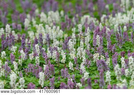 Ground Of A Deciduous Forest Covered With White And Purple Corydalis Cava Flowers In Springtime