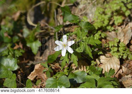 Wood Anemone - Latin Name - Anemone Nemorosa