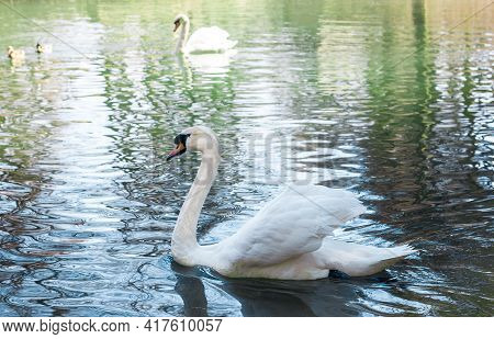 Beautiful White Swan Swims In A Pond In A Park, A Nursery, A Zoo Near The Shore At The Feeder, Selec