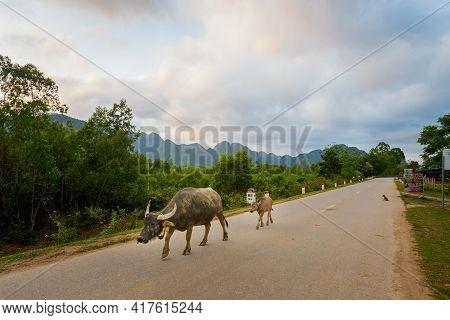 Buffalos In Phong Nha Vietnam