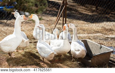 Flock Of Domestic White Geese Walks And Grazes In The Corral For The Animals And Birds Farm On A Sun