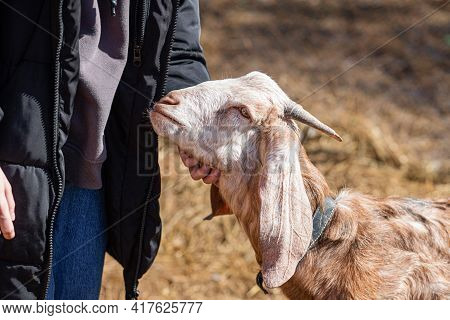 Girl Strokes Anglo-nubian Goat On Farm On Spring Day. Front View