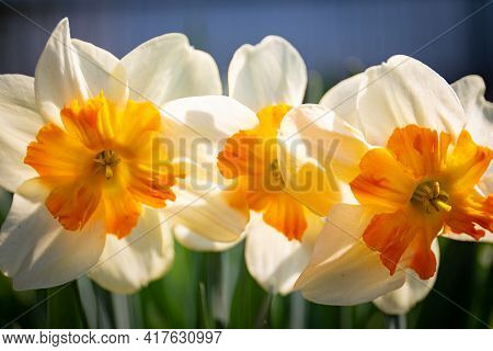 White Daffodil Narcissus Flowers Or Paperwhite Blossoming On Spring Day. Close Up Bunch Narcissus Pa