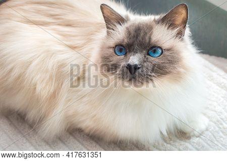 Sacred Cat Of Burma. Birman Cat With Blue Eyes