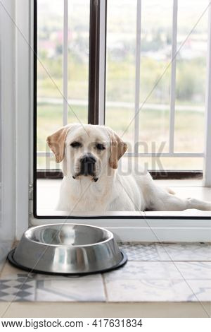 Hungry Labrador Dog Waiting For Dinner Time Outside. Domestic Pet Animal Behavior, Obedience And Pat