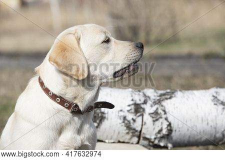Labrador Puppy Grins And Growls In Outdoor.