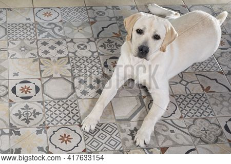 Young Labrador Retriever Dog Lies On Floor Of House And Stares Intently At Camera