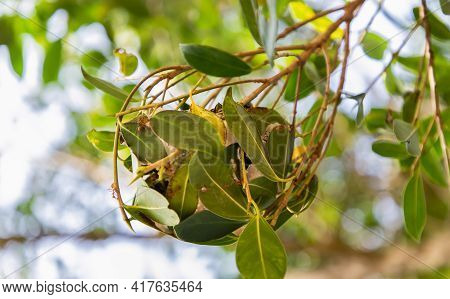 Red Ants Nest Using Tree Seedling On Green Leaf In Garden Among Green Leaves Blur Background. Concep