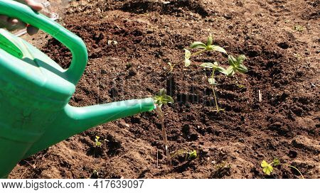 In The Spring, A Woman Plants Vegetables In The Garden And Waters Them From A Watering Can. Plant Or